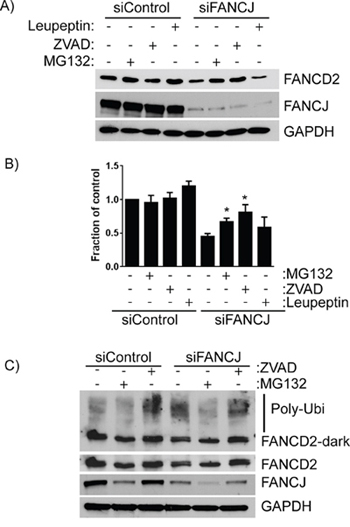 FANCD2 degradation in the absence of FANCJ is dependent on both the ubiquitin proteasome pathway and caspases.