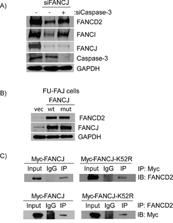 Caspase-3 degrades FANCD2 in the absence of FANCJ and FANCJ helicase activity is not required for the stabilization of FANCD2.