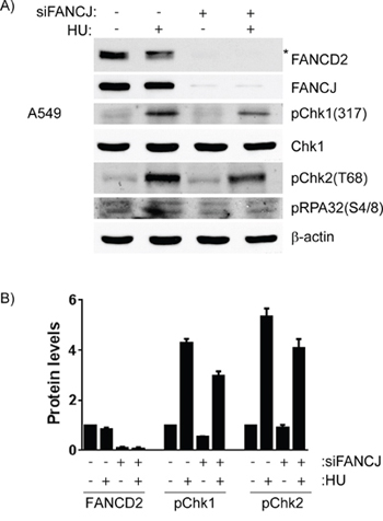 Cells lacking FANCJ are unable to properly respond to DNA damage caused by stalled replication forks.