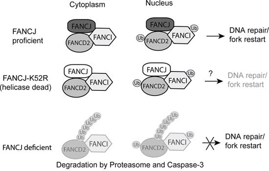 Proposed model for FANCJ stabilization of FANCD2 and FANCI.