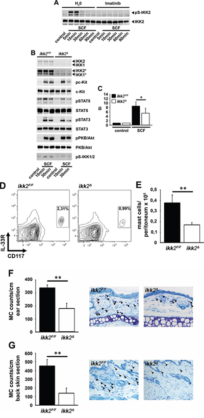 SCF induces the activation of IKK2.