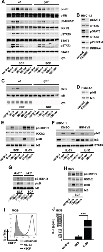 The SCF-induced IKK2 activation depends on SFKs but does not induce NF-κB activation.