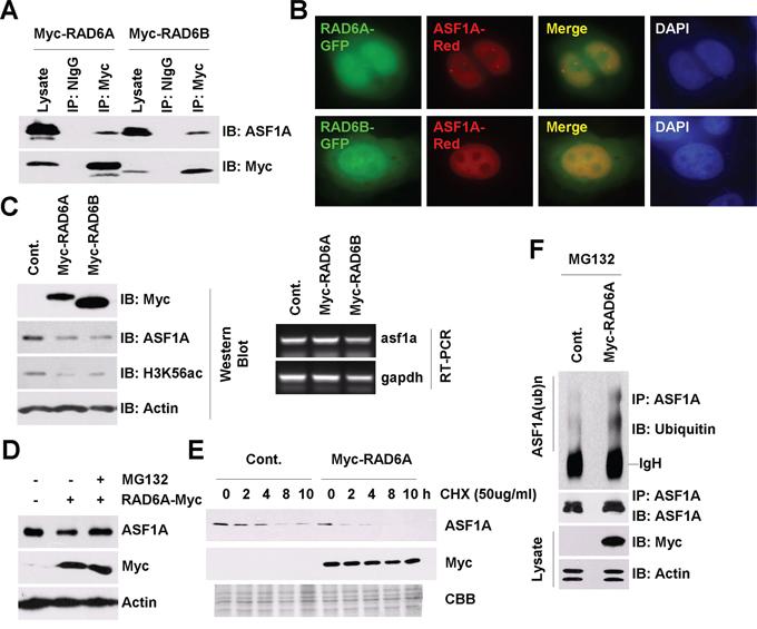 RAD6 regulates ASF1A ubiquitination and degradation in Homo sapiens.