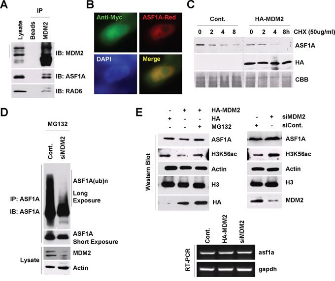 MDM2 regulates ASF1A ubiquitination and degradation in Homo sapiens.