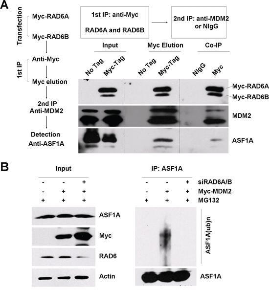 RAD6, MDM2 and ASF1A form a ternary complex.