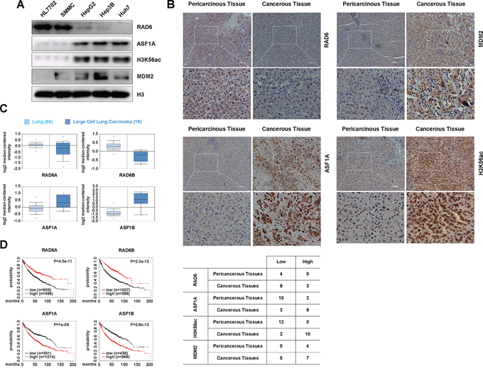 The regulation of ASF1A protein levels by the RAD6-MDM2 ubiquitin ligase participates in cancer development.