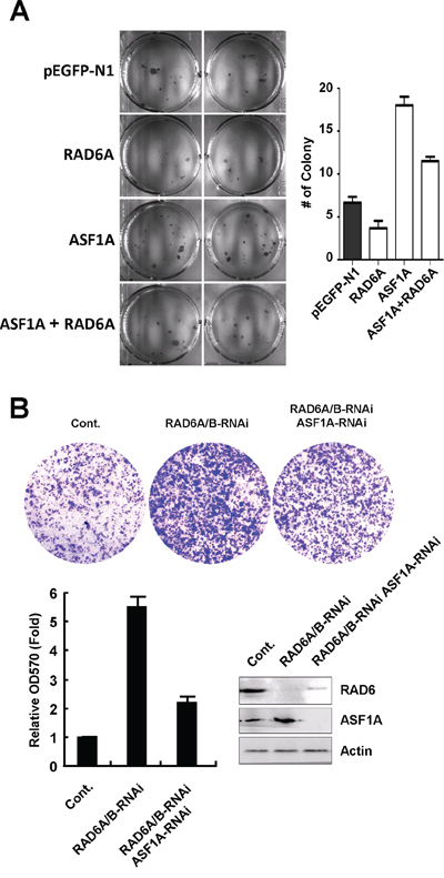 RAD6 and ASF1A negatively correlated in tumor cell proliferation and migration.