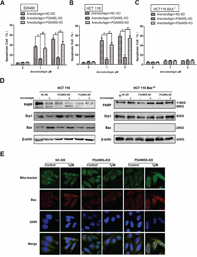 PGAM5L is required for Bax-mediated intrinsic apoptosis.