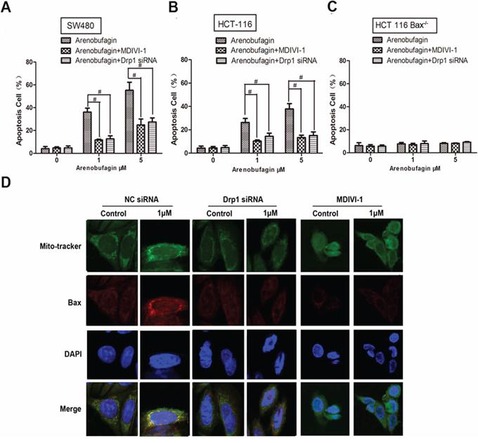 Drp1 is also needed in the induction of intrinsic apoptosis process.