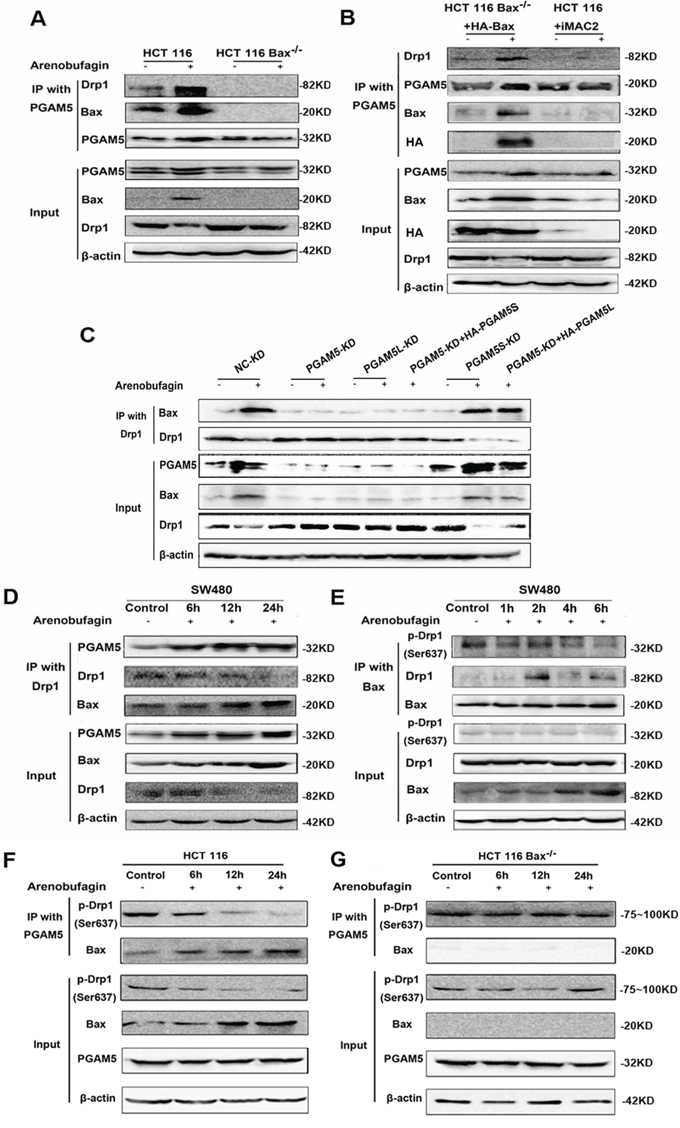 Bax Interacts with PGAM5-Drp1 Complex.