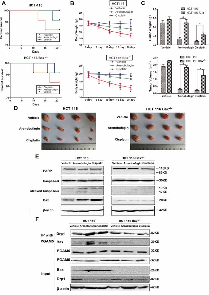 Arenobufagin and cisplatin suppress heterotropic CRC growth in a Bax-dependent manner.