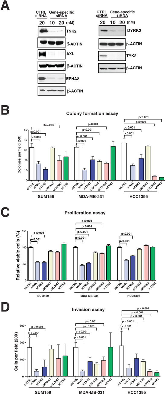 Functional validation of tyrosine kinases in aggressive phenotype of TNBC cells.