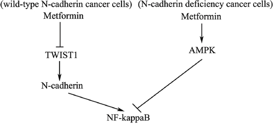 Schematic diagram of molecular mechanisms of metformin-mediated antitumor activity in N-cadherin expressing cancer cells vs. N-cadherin deficient cancer cells.
