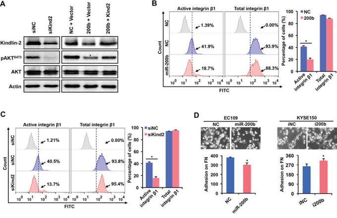 miR-200b inhibits the activation of AKT via suppressing the Kindin-2-integrin β1 axis.