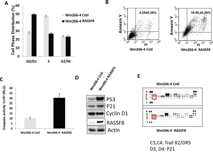 Overexpression of RASSF8 induced cell apoptosis by regulating P53-P21 pathway.