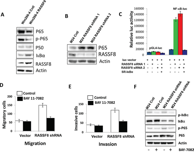 P65 was regulated by RASSF8 in melanoma cell line.