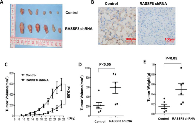 Growth of tumor xenografts in nude mice: comparison of M24 control and M24 RASSF8 shRNA.
