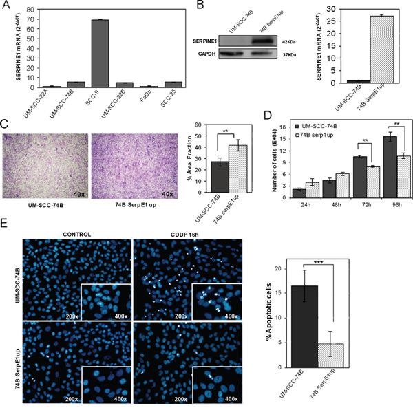 Ectopic over-expression of SERPINE1 increases migration, reduces proliferation and inhibits apoptotic induction in the UM-SCC-74B HNSCC cell line.