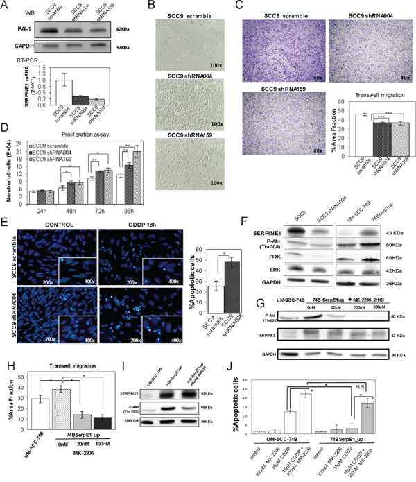 PAI-1 knockdown in the SCC9 cell line decreases migration, enhances proliferation and promotes apoptotic induction.
