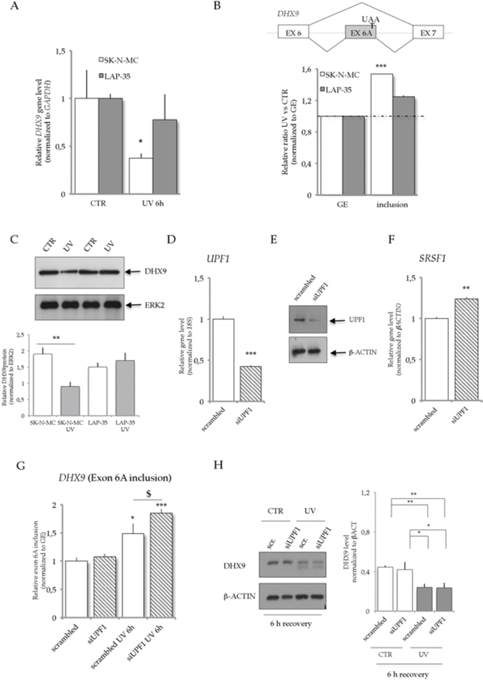 UV light irradiation affects DHX9 mRNA expression and alternative splicing in SK-N-MC cells, but not in LAP-35.