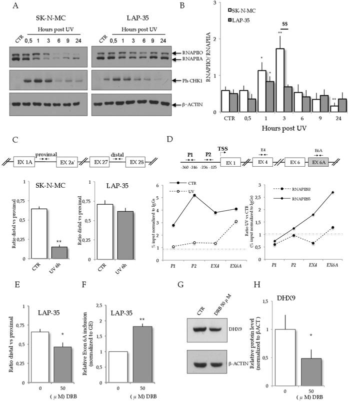 RNAPII dynamics in ES cells upon UV light treatment.