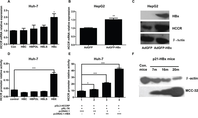 HBx upregulates HCCR expression by enhancing HCCR promoter activity.