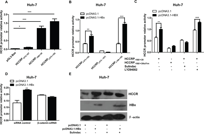 The TCF/β-catenin signaling pathway plays a role in the HBx-mediated regulation of HCCR mRNA expression.