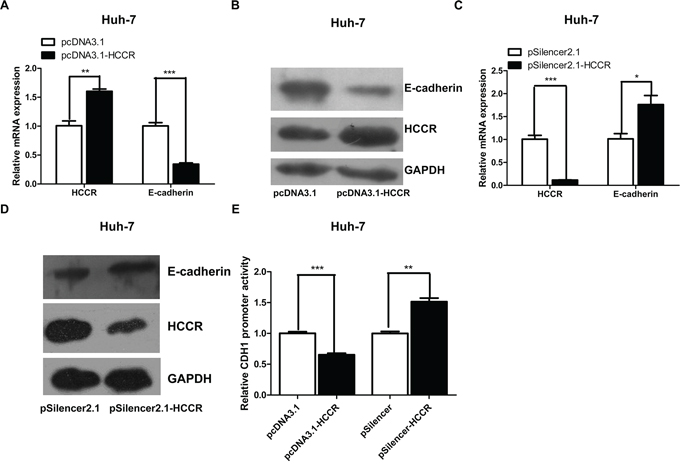 HCCR represses the expression of E-cadherin through its promoter.
