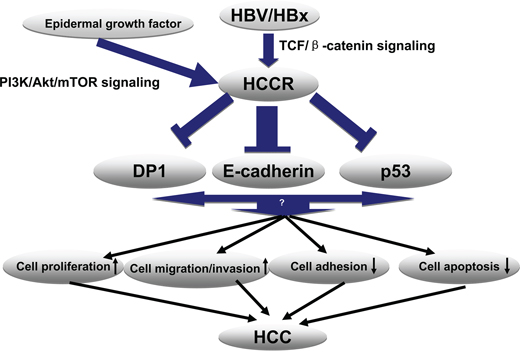 Proposed model for the molecular mechanism underlying HBx-induced HCCR expression and HCC development.