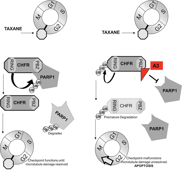 Our findings support a model, by which the interaction between CHFR and PARP1 control expression of both proteins.