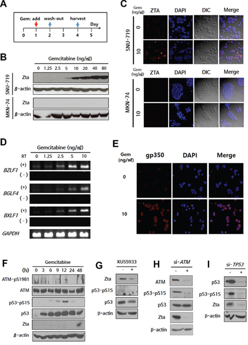 Expression of EBV-TK/PK during gemcitabine-induced lytic activation via ATM/p53 genotoxic stress pathway in EBVaGC cells.