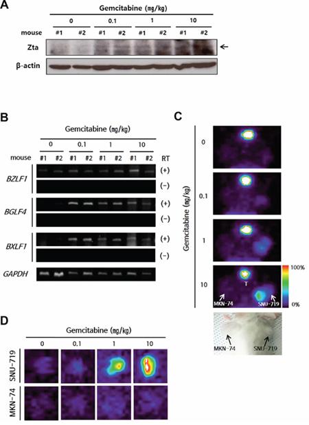 Establishment of a lytic activation-inducible EBVaGC mouse model.