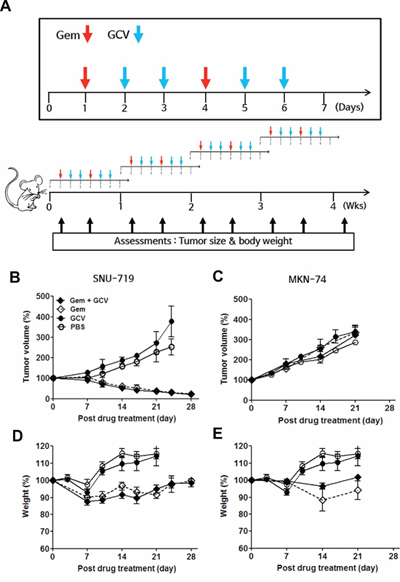 Gemcitabine-GCV combination treatment in EBVaGC cell-implanted mice.