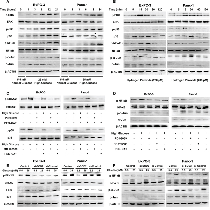 HG activates MAPK pathways and the NF-κB and AP-1 transcription factors via the production of H2O2 in BxPC-3 and Panc-1 cells.