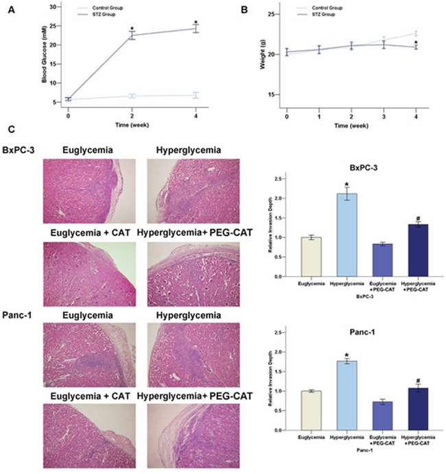 Effect of the hyperglycemia/H2O2 axis on the invasion of PC in nude mice.