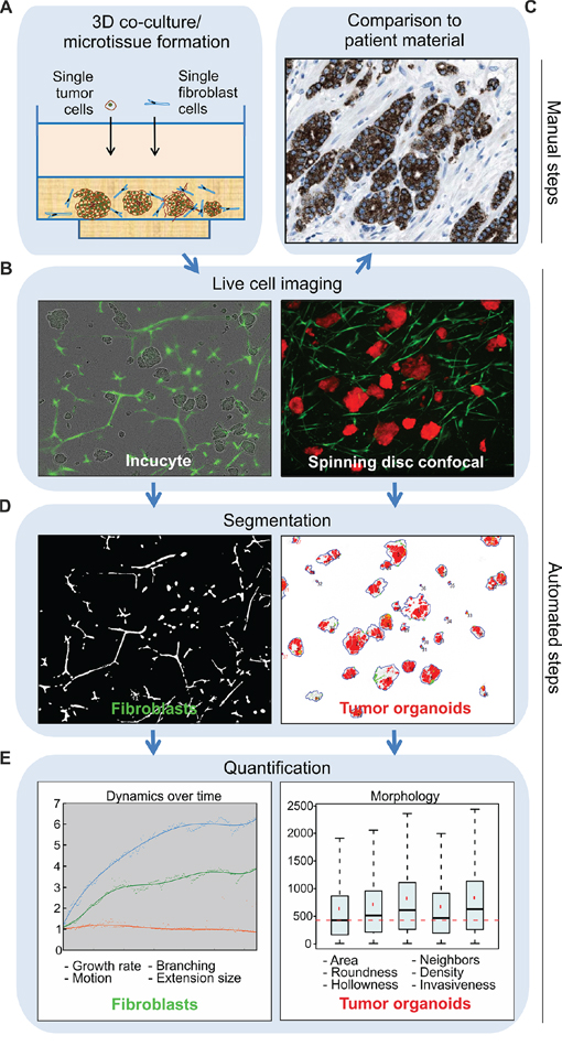 Tracking of tumor-stroma morphology and dynamics in microtissues by automated image analysis.