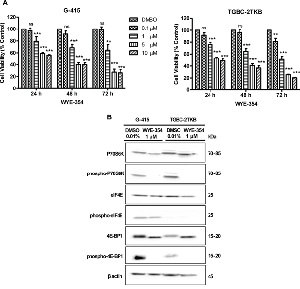 In vitro effects of WYE-354 on cell growth and mTOR signaling pathway in two gallbladder cancer cell lines.