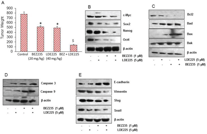 NVP-LDE-225, NVP-BEZ-235 and their combination inhibit pancreatic CSC tumor growth in NOD/SCID IL2Rγ null mice.
