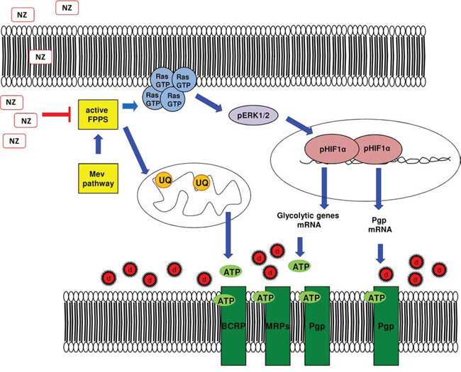 Metabolic basis of the chemosensitizing effects of NZ in MDR cells.