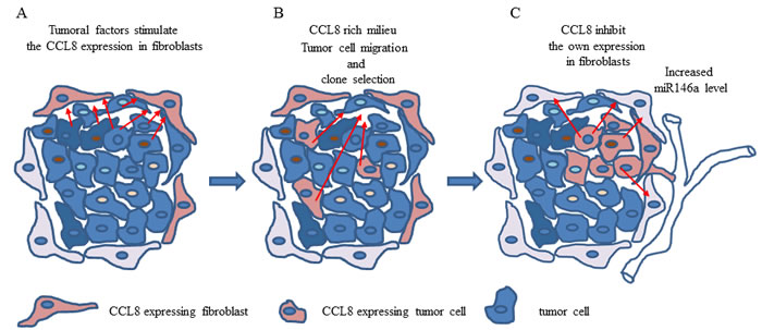 The hypothetical effect of CCL8 in host-tumor system.