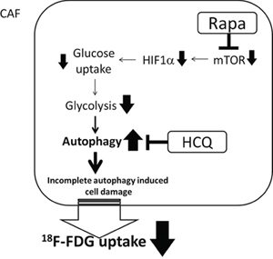 Synergistic effect of Rapa and HCQ combination.