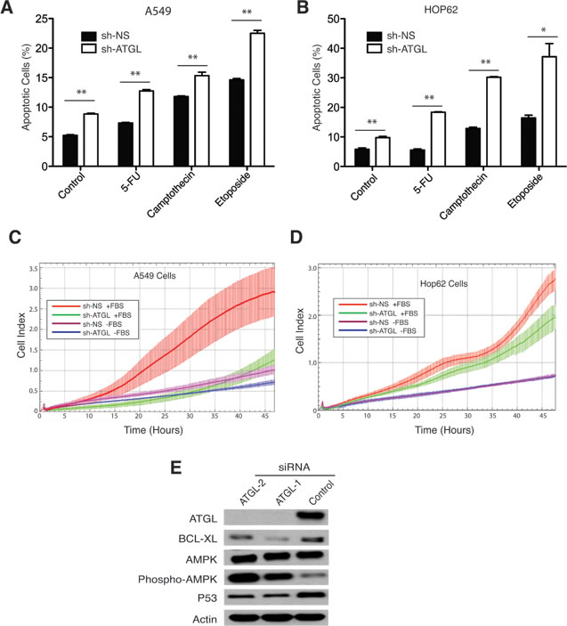 ATGL knockdown promotes apoptosis and inhibits migration of NSCL cancer cells.