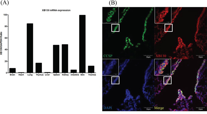 Expression of XB130 in murine small airway epithelial cells.