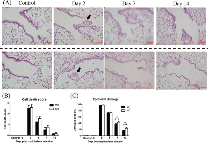 XB130 deficiency delayed the repair process after naphthalene-induced small airway epithelial damage.