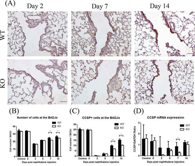 XB130 deficiency reduced Club cell proliferation during small airway epithelial repair.