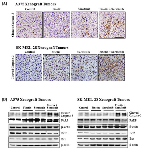 Effects of fisetin, sorafenib and their combination on cleavage of caspase-3 and PARP, and expression of Bcl2 family proteins in tumors of athymic nude mice implanted with BRAF-mutated melanoma cells.