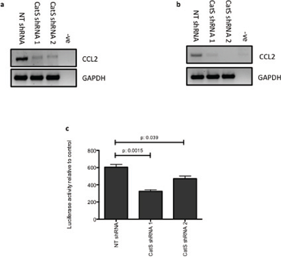 CatS can transcriptionally regulate CCL2 expression.
