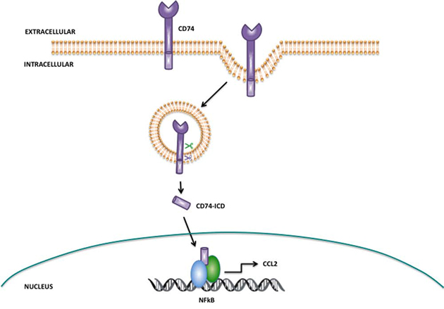 Proposed mechanism of action for CatS mediated regulation of CCL2 via CD74.