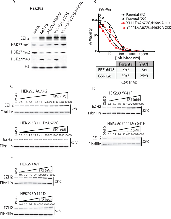EZH2 D1 domain mutants require an active SET domain to drive resistance and inhibit drug binding both in WT and mutant EZH2.