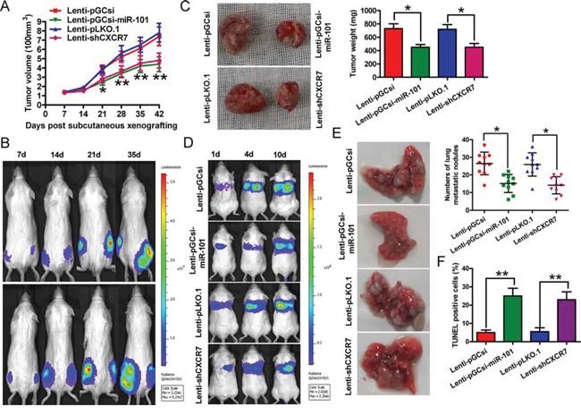 Overexpression of miR-101 or knockdown of CXCR7 suppresses tumor growth and metastasis, and promotes apoptosis of BrC cells in vivo.